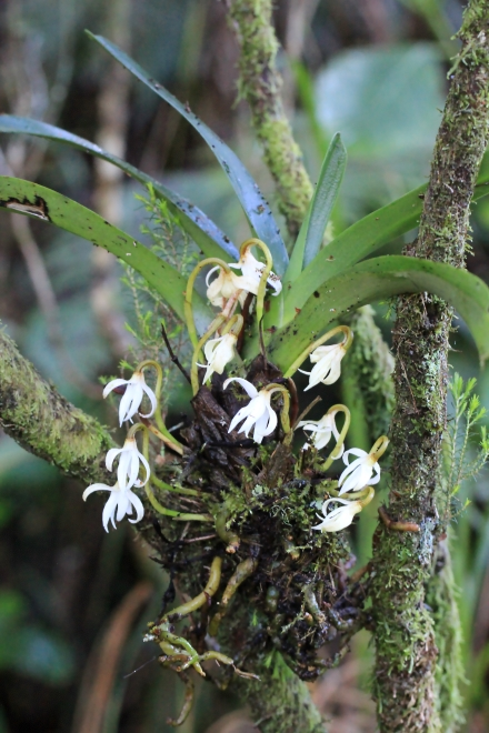 Jumellea triquetra (Thouars) Schltr.