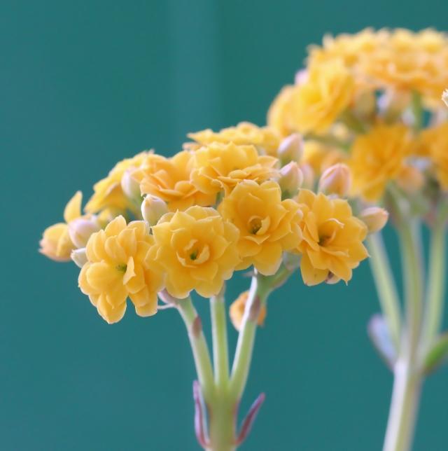 Kalanchoe blossfeldiana. Fleurs jaunes.