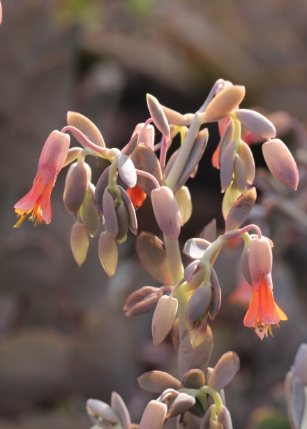 Inflorescence Kalanchoe laxiflora Baker.
