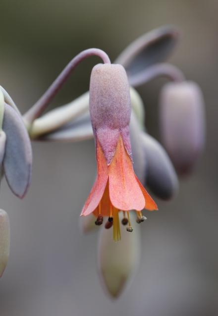 Fleur Kalanchoe laxiflora Baker.