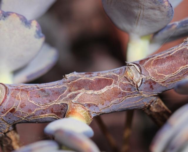 Branche Kalanchoe laxiflora Baker.