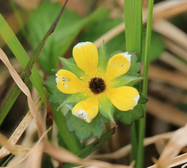 Fraisier des Indes Fraise d'Lo : Fleur.