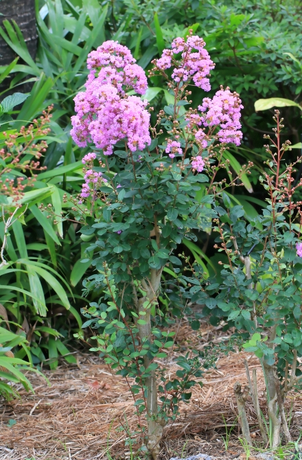 Lagerstroemia indica L. Lilas des Indes.