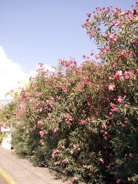 Laurier rose. Nerium oleander