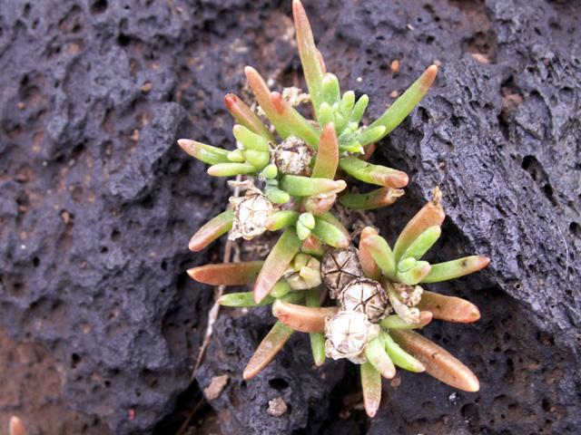 Lavangère - Delosperma napiforme Schwantes Flore endémique de La Réunion