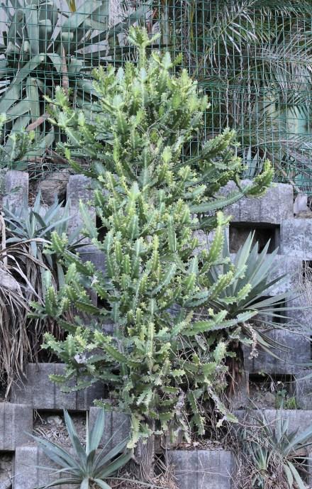 Euphorbia lactea Haw.