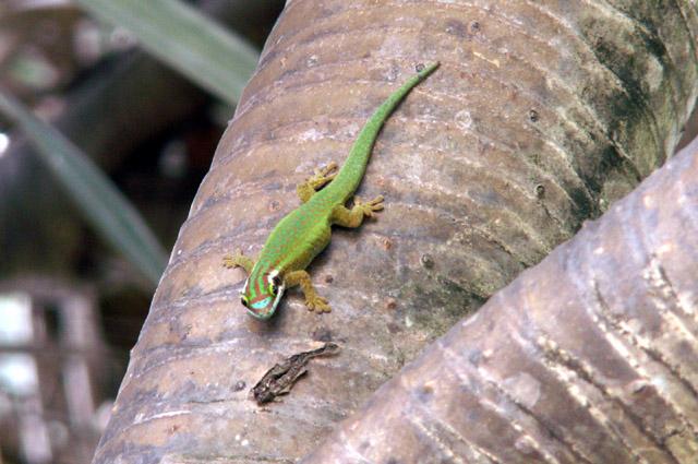 Le Lézard vert de Manapany Phelsuma inexpectata reptile endémique de La Réunion