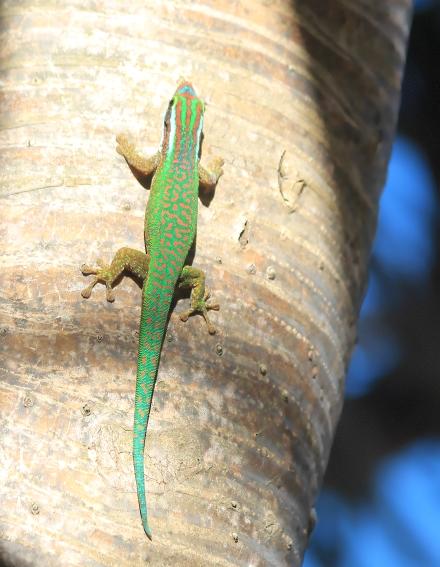 Lézard vert de Manapany