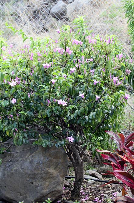 Cryptostegia grandiflora Liane à caoutchouc
