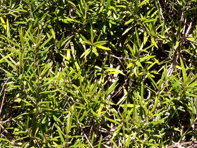 Liane bois d'olive - Secamone volubilis. Endémique La Réunion et Maurice.