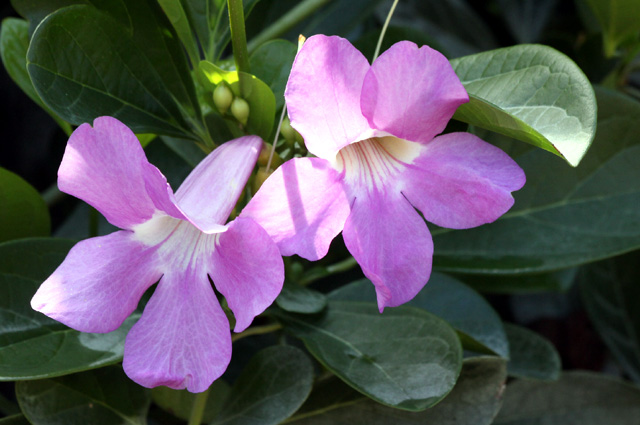 Fleurs Bignonia magnifica W.Bull.