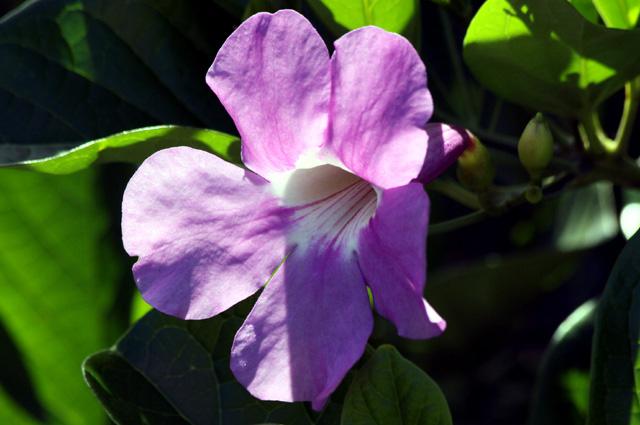 Fleur Bignonia magnifica W.Bull.