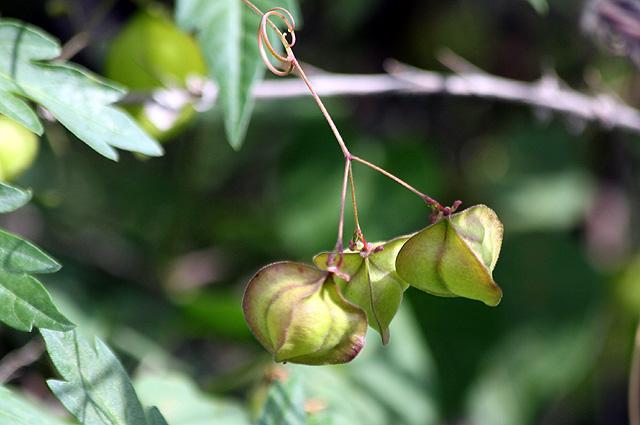 Cardiospermum halicacabum L. var. microcarpum (Kunth) Blume. Fruits.