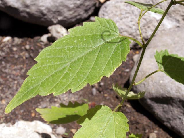 Gouania mauritiana Lam. Liane savon : Espèce endémique de La Réunion.