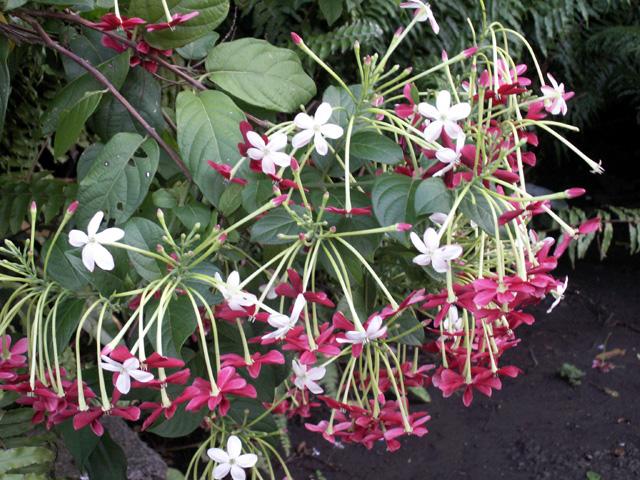 Fleurs Liane vermifuge, Badamier sauvage. Combretum indicum (L.) DeFilipps.