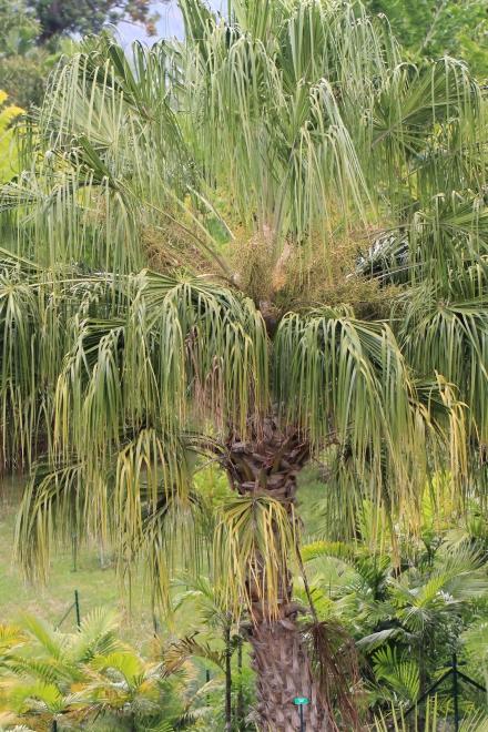 Livistona decora (W.Bull) Dowe.