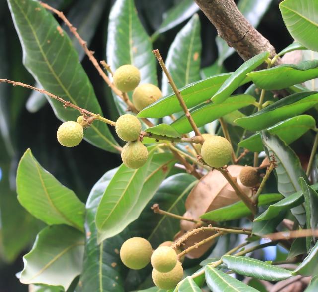 Dimocarpus longan Lour, Longani, longanier