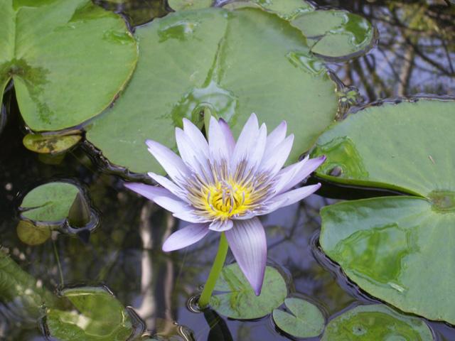Nymphaea nouchali Burm.f, Lotus bleu, nénuphar étoilé