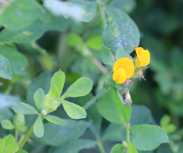 Lotus pedunculatus Cav.