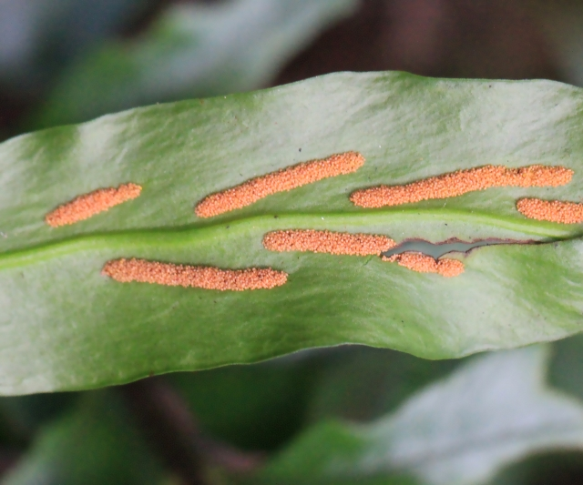 Loxogramme lanceolata (Sw.) C. Presl.