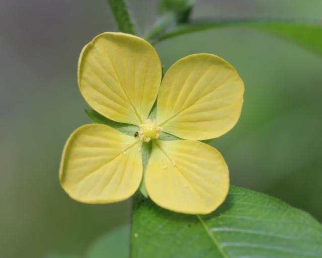 Ludwigia erecta (L.) H.Hara.