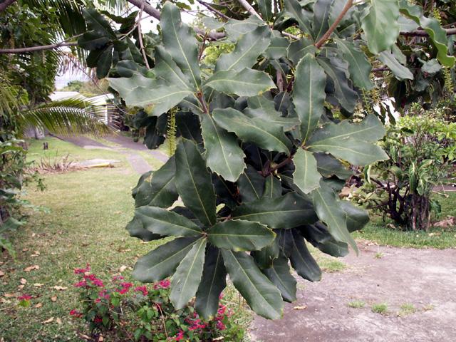 Feuilles : Macadamier ou Noyer du Queensland - Macadamia integrifolia