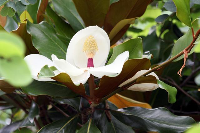 Fleur : Magnolia à grandes fleurs. Magnolia grandiflora