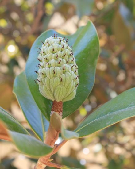 Follicule de Magnolia grandiflora L