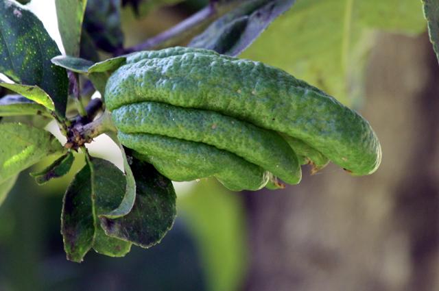 Fruit : Main de Bouddha