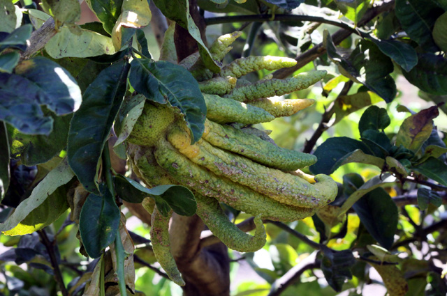 Fruit du cédratier