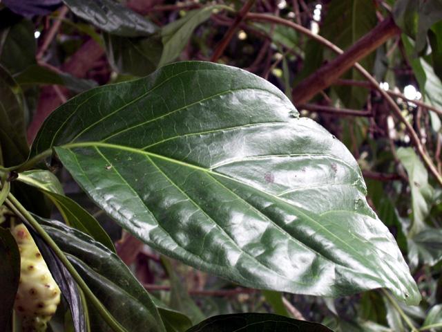 Feuille : Noni, nono, malaye, Mûrier indien - Morinda citrifolia L.