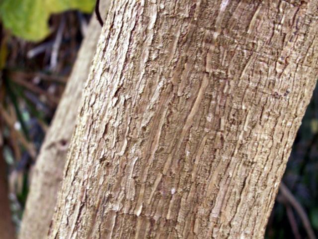 Tronc : Noni, nono, malaye, Mûrier indien - Morinda citrifolia L.