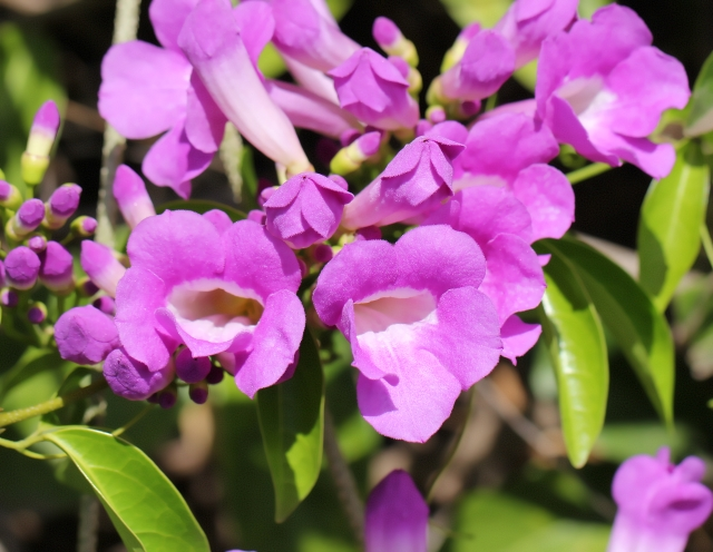 Mansoa alliacea (Lam.) A. Gentry.