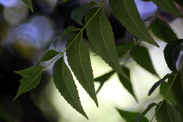 Feuilles : Margousier. Azadirachta indica