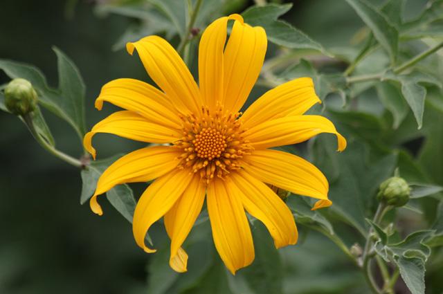 Tithonia diversifolia, Fleur fête des Mères, Tournesol mexicain