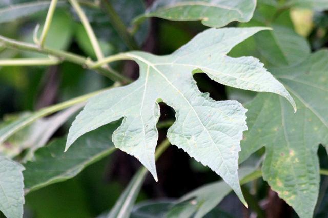 Feuille Tithonia diversifolia