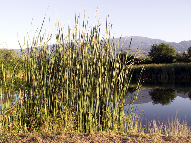 Massette, quenouille ou Typha. Typha domingensis