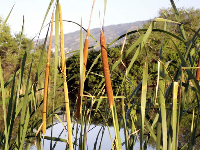 Fleurs : Massette, quenouille ou Typha. Typha domingensis