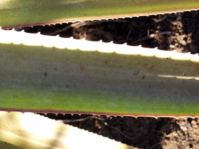 Aloe macra Haw. Mazambron marron.