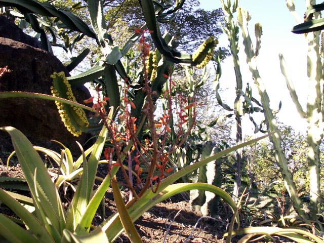 Mazambron marron endémique de de La Réunion.
