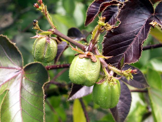 Fruits : Médecinier sauvage, médecinier rouge, Pourghère rugueuse. Jatropha gossypiifolia