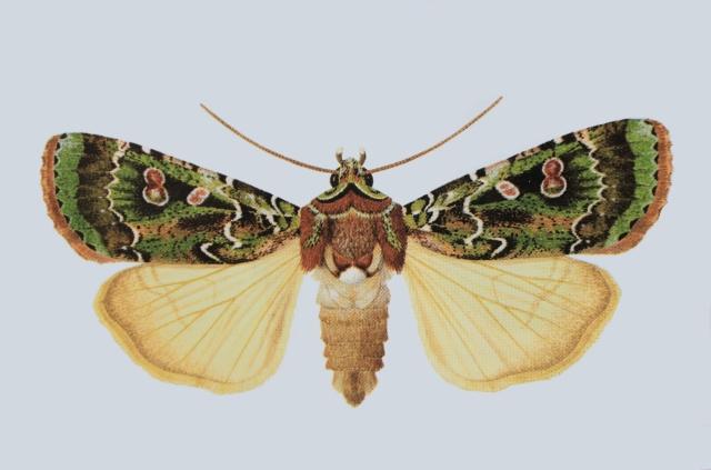 Mentaxya palmistarum (Joannis, 1932), Papillon endémique de La Réunion.
