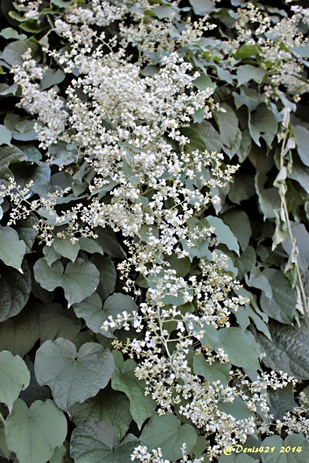 Mikania micrantha Kunth. Herbe margoze.
