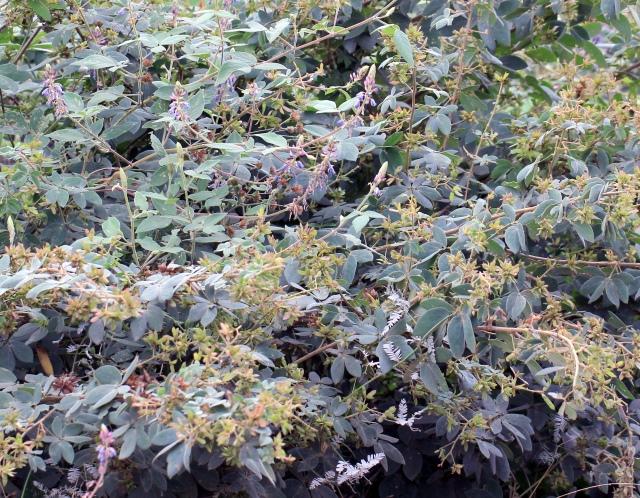 Mimosa albida Humb. et Bonpl. ex Willd.