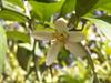 Fleur : Citronnier 4 Saisons. Citrus limon Eureka