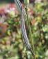 Abelmoschus esculentus, Gombo ou Lalo.