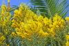 Acacia podalyriifolia A. Cunn. ex G. Don