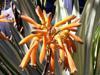 Aloe arborescens Mill