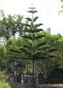 Araucaria heterophylla, Pin de Norfolk.