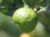 Citrus reticulata, mandarinier.